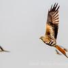 Red Kite I
