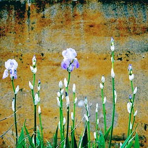iris - day#125 - year#06