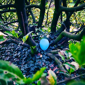 La couleur bleue des œufs du Merle d'Amérique (Turdus migratorius) est due à la biliverdine, un pigment déposé sur la coquille de l'œuf lorsque la femelle pond - day#100 - year#08