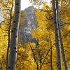 aspens in fall 6 jpg