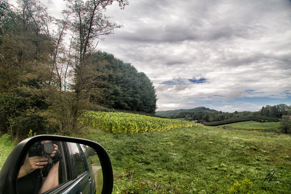 Alleghany County tobacco field and christmas trees.