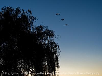 015-geese-wdsm-08sep17-12x09-002-1467