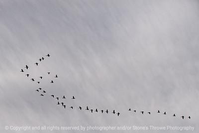 015-geese-wdsm-12jan14-6233
