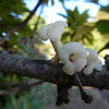 Ho'awa flowers (Photo by Shannon Paapanen).