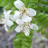 ʻŪlei (Osteomeles anthyllidifolia)