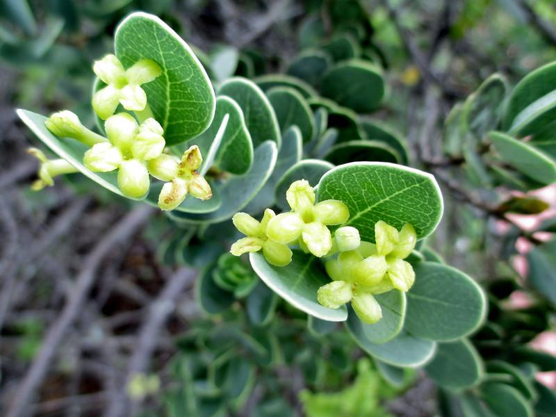'Akia (Wikstroemia uva-ursi) flowers