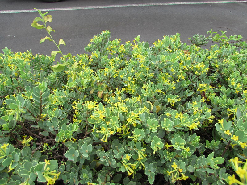The 'akia was blooming profusely in August. (Photo by Irene Newhouse)