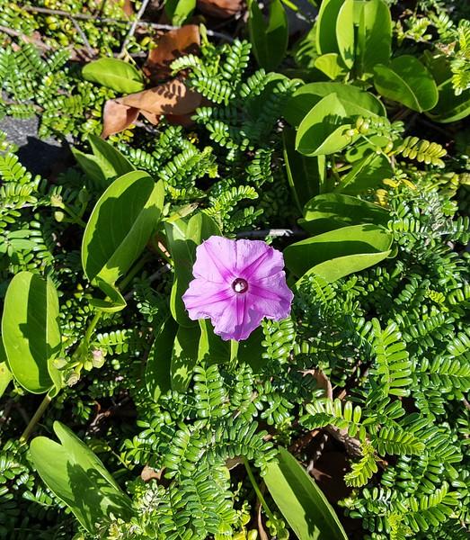 Pohuehue flower among ulei