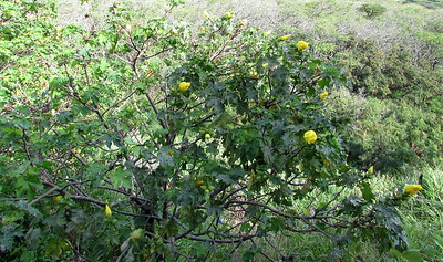 The mao hau hele (Hibiscus brackenridgei) were flowering, but not particularly open, as it was overcast.