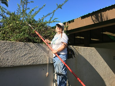 Pruning the ulei - it was past due for a trim! (Photo by Katie Romanchuk)