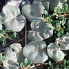 Solanum nelsoni, an endangered endemic plant
