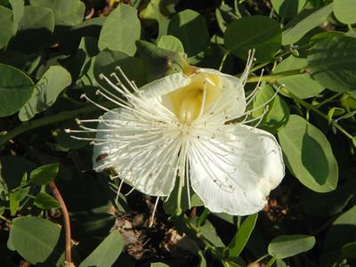 Maiapilo (Capparis sandwichiana) flower