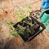 5 ohai plants (Sesbania tomentosa) ready for outplanting