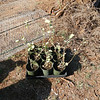 9 popolo (Solanum nelsonii) ready to be planted in deer-proof cages