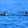 Loons in Autumn