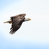 Bald Eagle soaring with Dinner