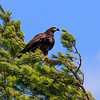 Juvenile bald eagle near top of tree