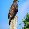 Juvenile bald eagle on post