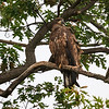 Juvenile Bald Eagle perched on branch