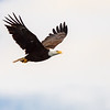 Bald Eagle with Catfish in flight