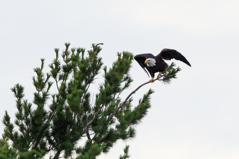 Bald eagle taking off from tree