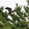 Bald Eagle swooping in