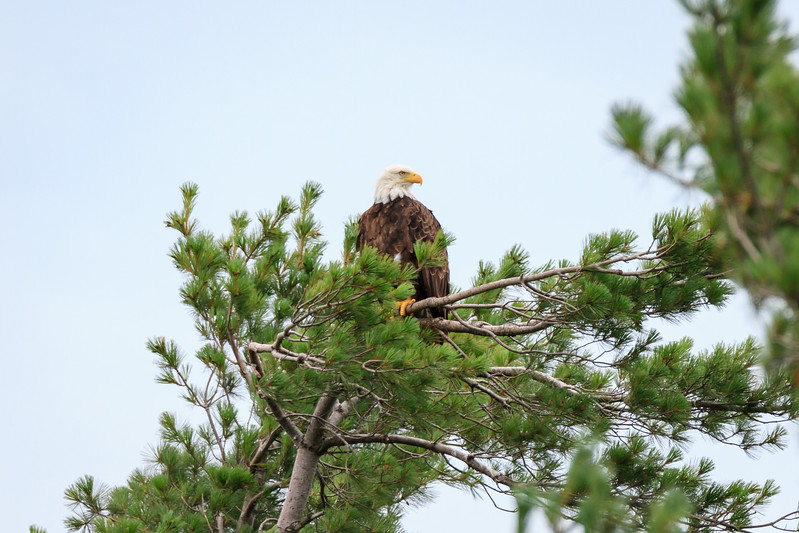 Bald eagle perched in treetop