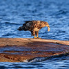 Eagle with catfish in beak