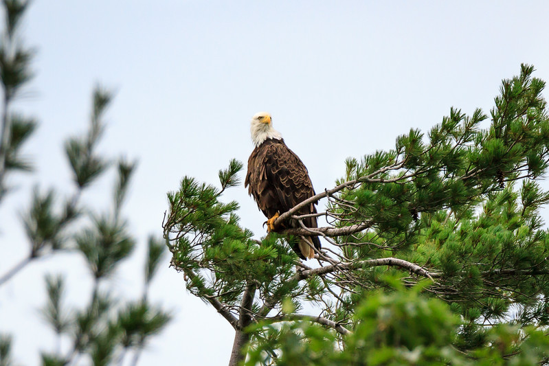 Bald eagle looking towards camera