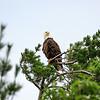 Bald eagle looking towards camera