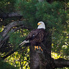 Bald eagle enjoying the shade