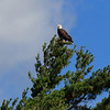 Bald eagle at top of pine tree - wide shot