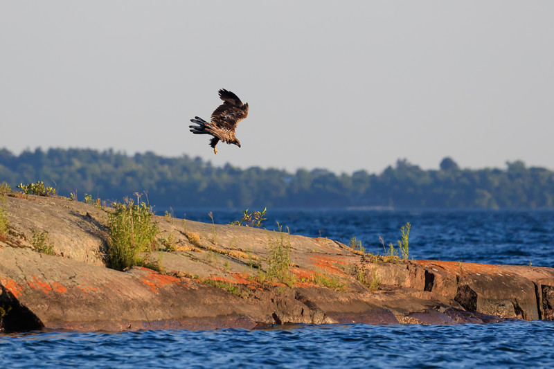 Eagle diving for a fish