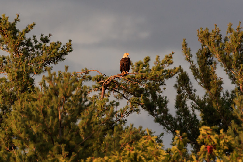 Bald eagle on pine at sunset