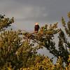 Bald eagle on pine at sunset