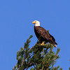 Bald eagle at top of pine tree