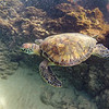 Young Sea Turtle in the surf