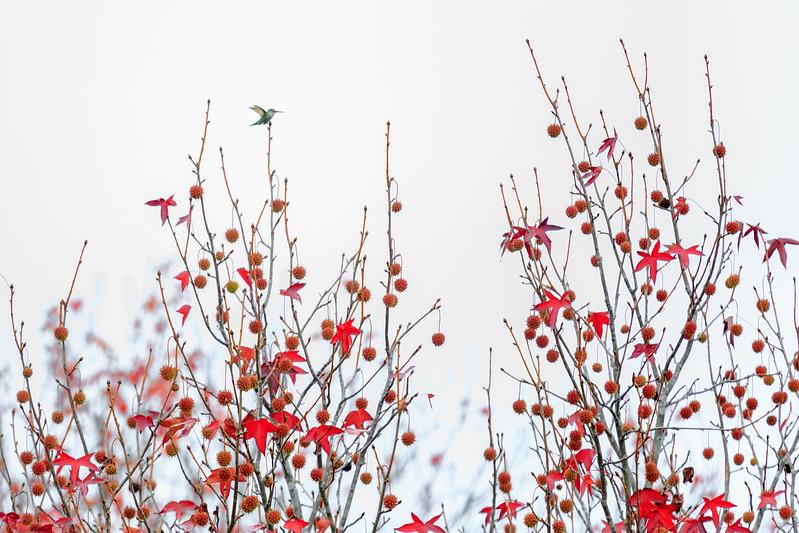 Take Flight! Hummingbird in Autumn