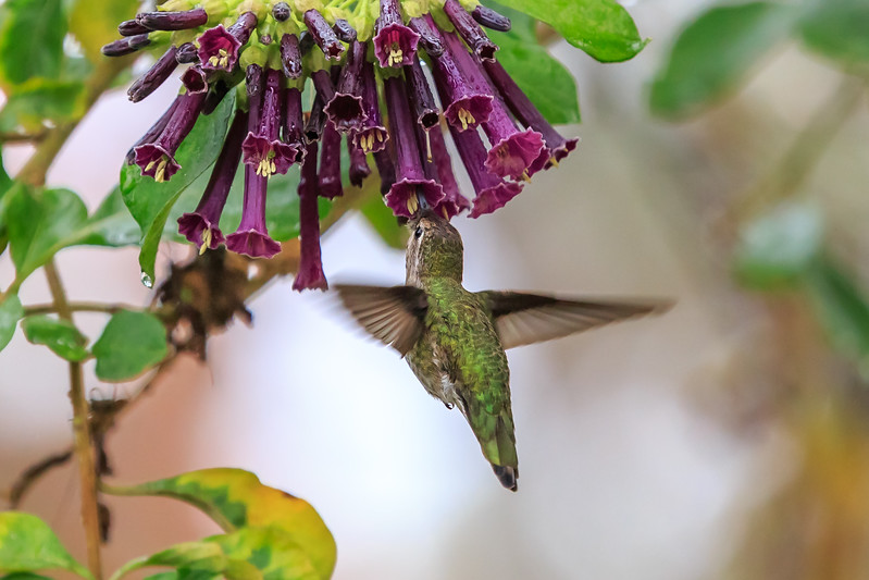 Hummingbird in Plum Tree