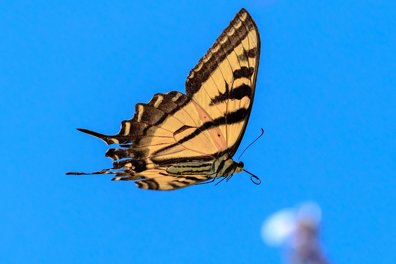 In Flight - Butterfly from below