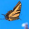 In Flight - Butterfly from below