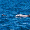 Risso's Dolphin and Calf