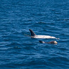 Risso's Dolphin Mother and Calf