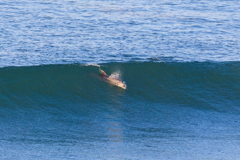 Dolphin Surf