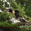 Bald Eagle Diving in pines