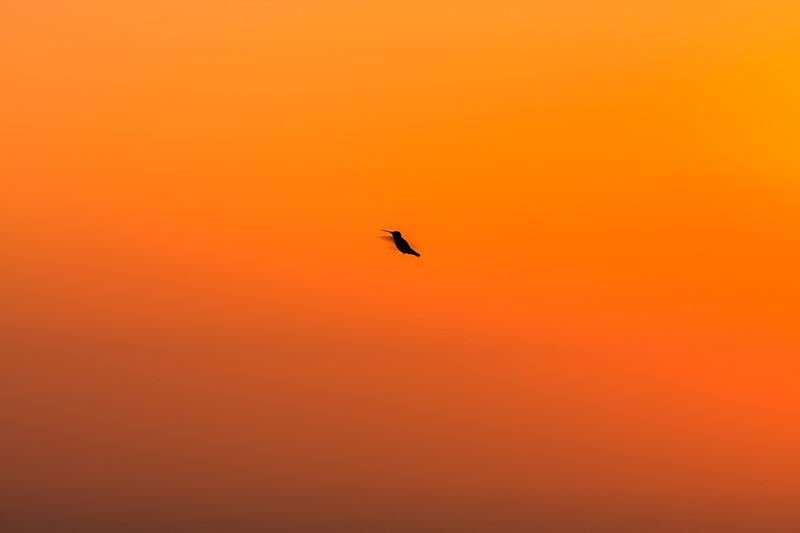 Hummingbird silhouette at sunset