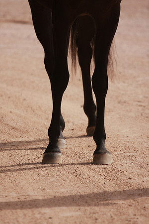 Black Filly LEGS CONFO