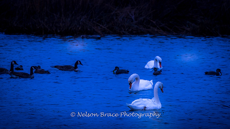 20181127 Three Swans a Swimming-4 fb