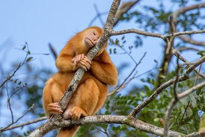 Albino Howler Monkey, Cano Negro Preserve, Costa Rica