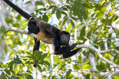 Howler Monkeys; Costa Rica